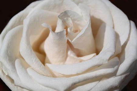 Flower of a white rose