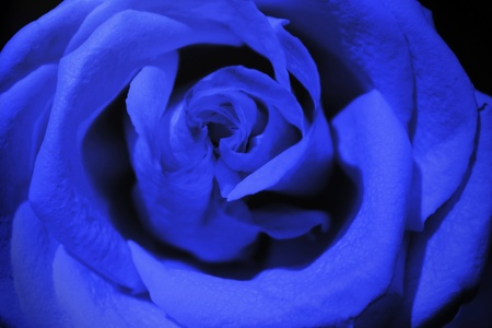 dark blue rose Stock Photo