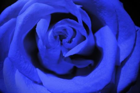 rosa azul oscuro
