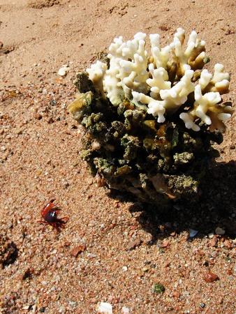 Coral y cangrejo. Egipto Foto de archivo