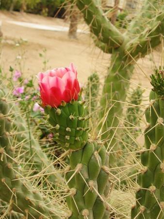 Roja flor de cactus Foto de archivo