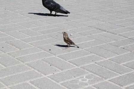 The sparrow walks on sidewalk