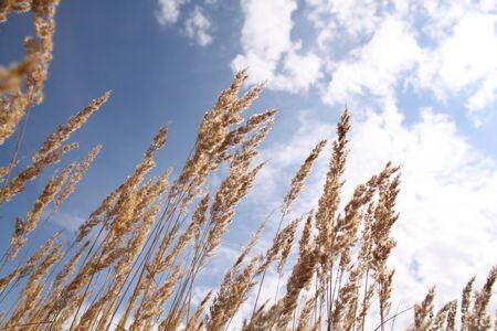 Dry grass. A field