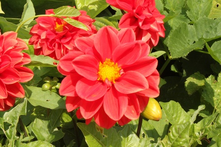 Red chrysanthemum photo