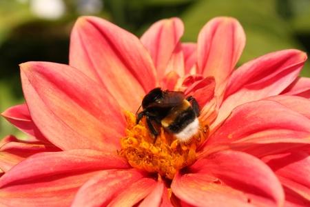 El abejorro rayado se arrastra sobre un crisantemo rojo Foto de archivo