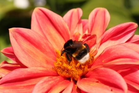 The striped bumblebee creeps on a red chrysanthemum