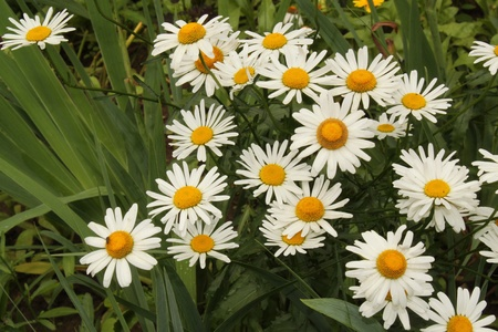 group of white camomiles Stock Photo - 12164846