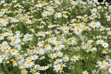 field of white camomiles