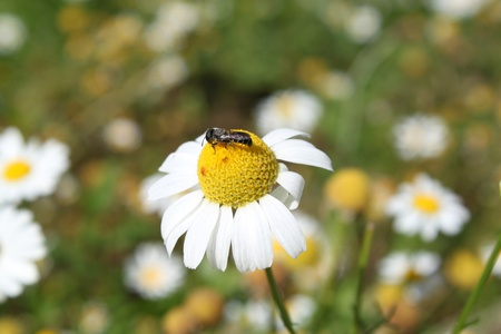 abeja en el campo camomiles Foto de archivo