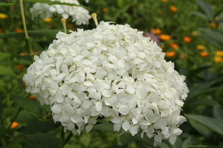 Inflorescence of white colors