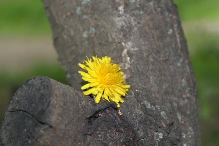 Dandelion on a tree Stock Photo - 12164834