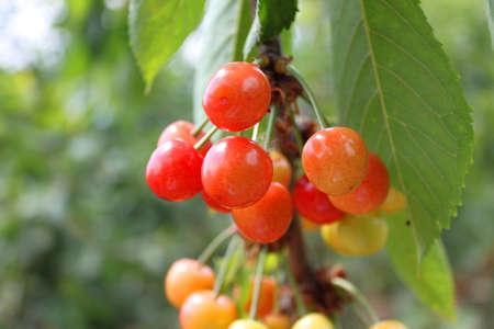 arbol de cerezo: Cerezo con cerezas maduras en el jard�n.