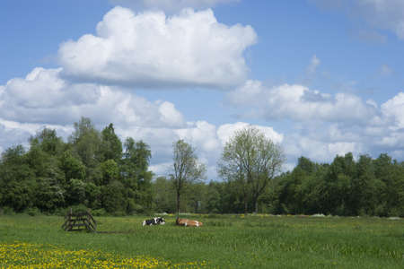 a meadow in the ecological way with eco cows photo