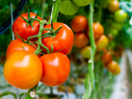 The tomatoes are ripe and ready for the harvest Stock Photo - 13894940