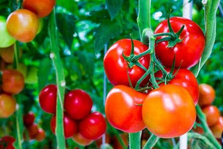 invernadero: Los tomates est�n maduros y listos para la cosecha
