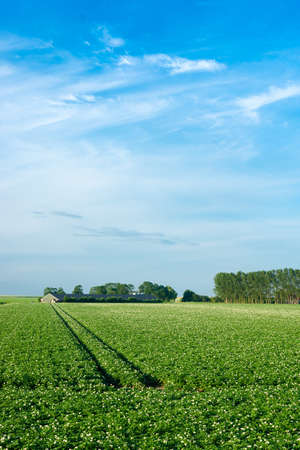 Farmland filled with potatoes and a blue sky