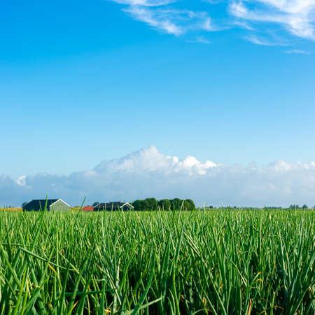 Landbouwgrond gevuld met uien en een blauwe hemel