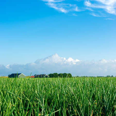 Farmland filled with onions and a blue sky