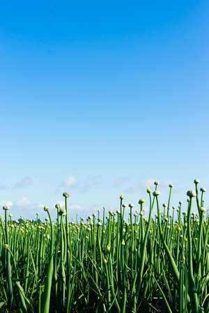 Farmland filled with onions and a blue sky photo