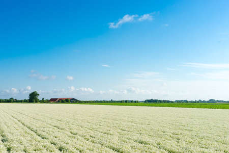 field filled with white alysium and a blue sky