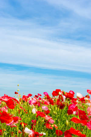field filled with corn poppies and a blue sky