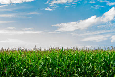 Veld van maïs in de zon met een blauwe lucht en de wolken Stockfoto