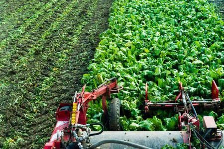 harvester werkt aan een veld met suikerbieten
