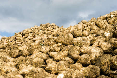 loosen: Sugar beets are harvested and drying to loosen up the clay and dirt