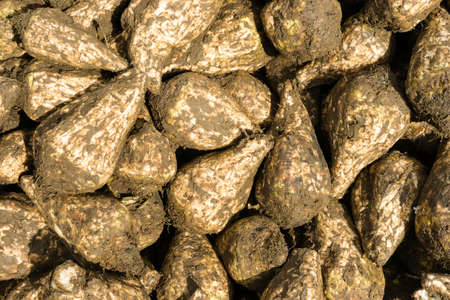 loosen up: Sugar beets are harvested and drying to loosen up the clay and dirt