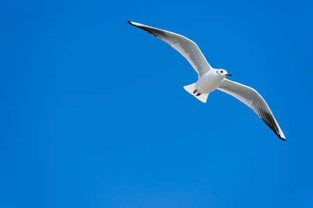 ridibundus: A seagull  Chroicocephalus ridibundus  in winter plumage