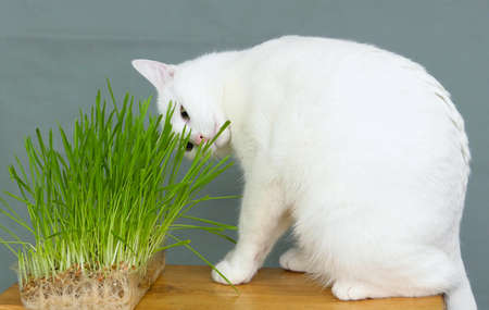 a white cat tastes grass on a bench