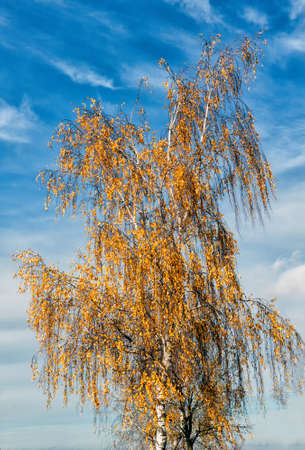 in autumn one yellow birch on a background of blue sky with clouds