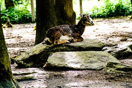 mouflon: Mouflon on a stone