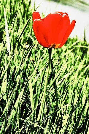 macrophoto: Red tulip