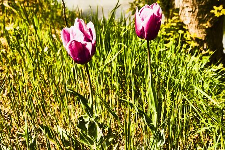 macrophoto: Tulips in the meadow Stock Photo