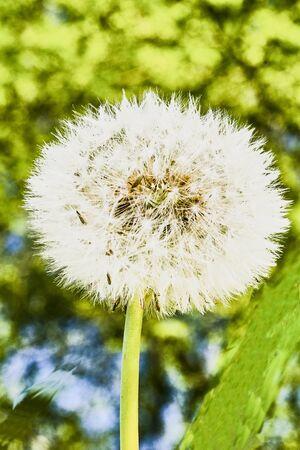 faded: faded dandelions