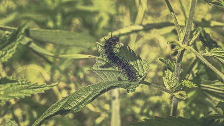 urtica dioica: Makroaufnahme einer Raupe  (Araschnia levana) auf einer Brennessel (Urtica dioica) mit Color Grading ausgearbeitet Stock Photo