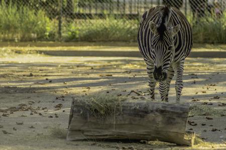 Zebra (Equus quagga) bei der Fütterung als HDR-Foto ausgearbeitet Stock Photo