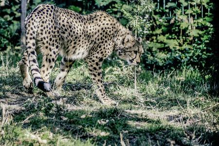 acinonyx: Gepard (Acinonyx jubatus) beim durchstreifen seines Revieres mit Color Grading ausgearbeitet Stock Photo