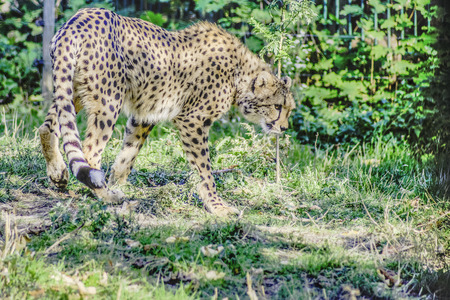 gepard: Gepard (Acinonyx jubatus) beim durchstreifen seines Revieres als HDR-Foto ausgearbeitet
