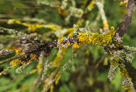 Tree lichen (Xanthoria parietina) on old wood with burred background. Dynamic.