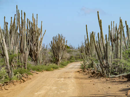 Track with cactii (cactus) in Bonaire. Netherlands Antilles.