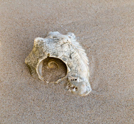 Conch shell on a caribbean beach, old. Spiral pattern - lobatus gigas.