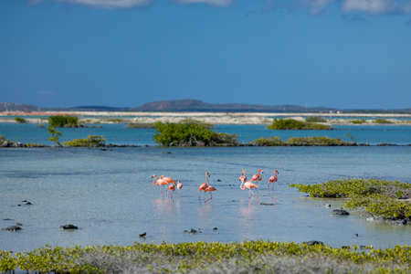 Flamingos in the salt flats in Bonaire (netherlands antilles)