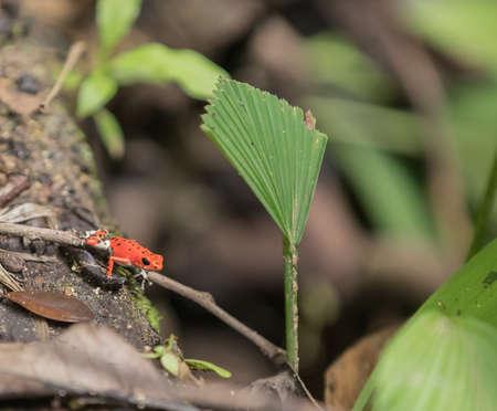 Red strawberry poison dart frog (Oophaga pumiliom) at Bastimentos, Bocas del Toro Archipelago . Stock Photo