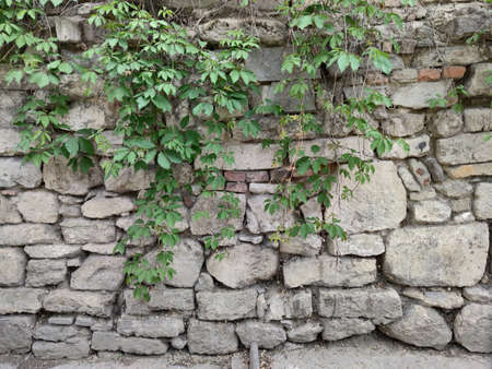 Old wall of gray stones .. Dry and fresh branches of a plant with green leaves. Green plants. Kishinev. Moldova