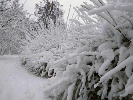 Tall white snow lies on the long branches of a tree. Kishinev. Moldova. Standard-Bild