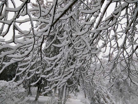 White snow lies on the long branches of a tree. Kishinev. Moldova.