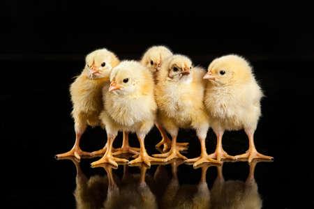 Kleines gelbes Huhn auf einem schwarzen Studiohintergrund Lizenzfreie Bilder - 41911037