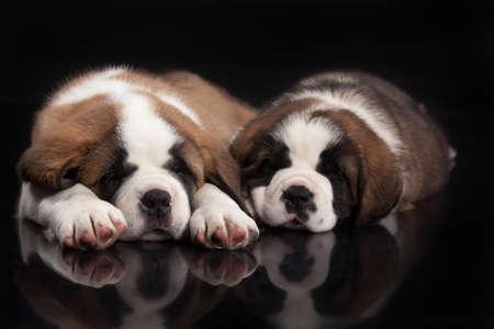 st  bernard: Little St. Bernard Puppies on a black studio background